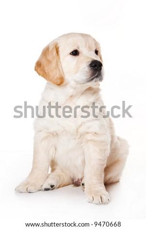 Golden retriever puppy on white background - stock photo