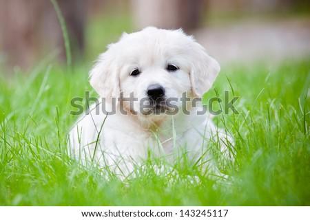 golden retriever puppy outdoors - stock photo