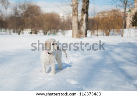Golden retriever puppy playing in the park - stock photo