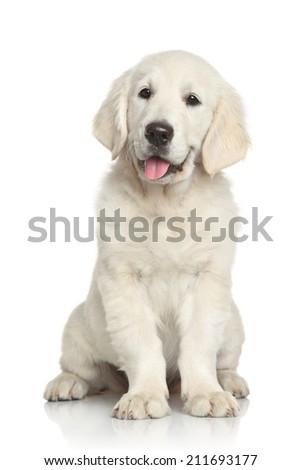 Golden retriever puppy. Portrait on white background. - stock photo
