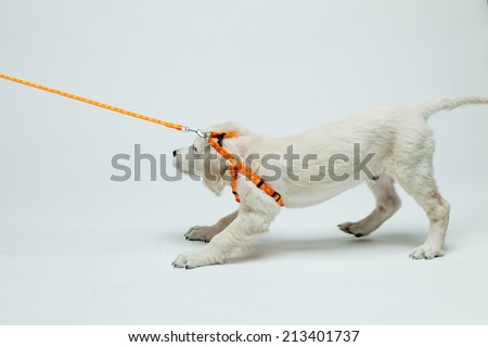golden retriever puppy resists his pull on the leash - stock photo