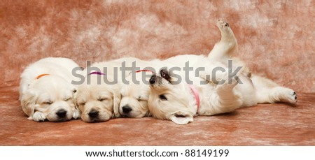 Golden Retriever puppy's - stock photo