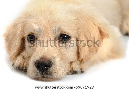 Golden retriever puppy's snout close up  isolated on white background - stock photo