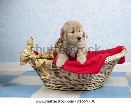 Golden Retriever puppy sitting in a basket tied with a golden bow. . - stock photo