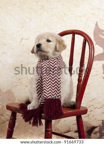 Golden Retriever puppy sitting on old red chair wearing a winter scarf. - stock photo