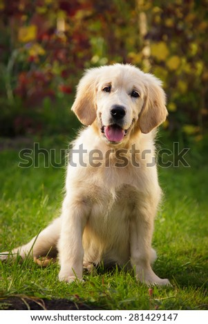 Golden retriever puppy sitting on the grass - stock photo