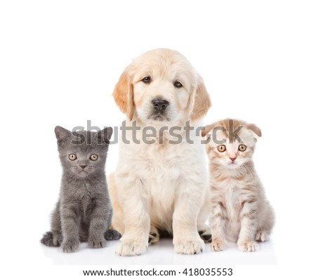 Golden retriever puppy sitting with tiny kittens. isolated on white background - stock photo