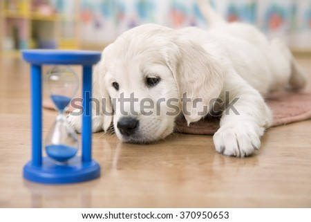 golden retriever puppy watching at the hourglass and waiting for feeding - stock photo
