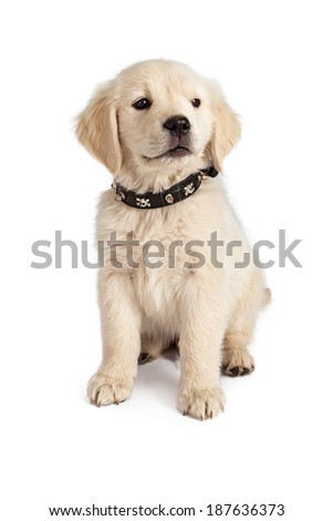 Golden Retriever puppy wearing a skull and crossbones spiked black leather collar  - stock photo