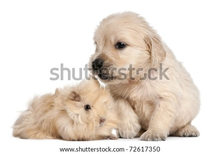Golden Retriever puppy, 4 weeks old, and young Peruvian guinea pig, 2 months old, in front of white background - stock photo