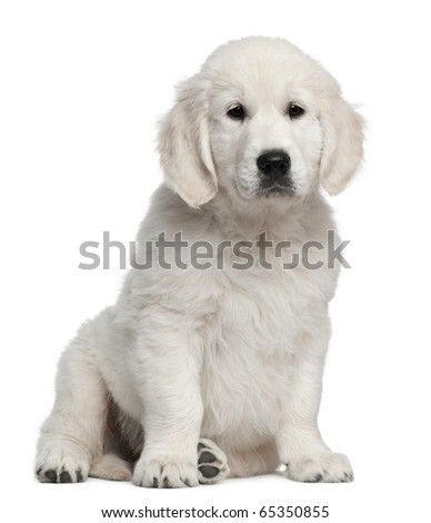 Golden Retriever puppy, 10 weeks old, sitting in front of white background - stock photo