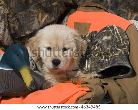 Golden Retriever puppy (8 weeks) sitting on his owners duck hunting equipment. - stock photo