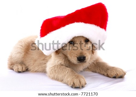 Golden Retriever puppy with a Santa hat on - stock photo