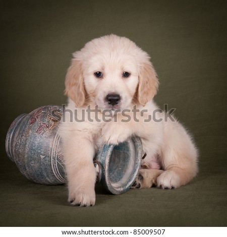 Golden retriever puppy with an old vase - stock photo