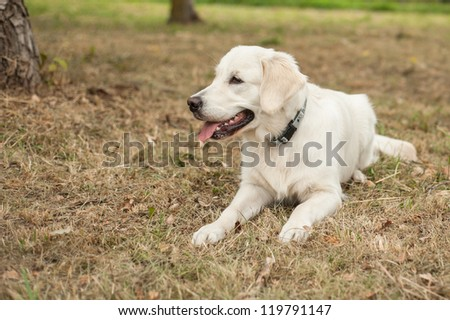 Golden retriever resting in the park - stock photo