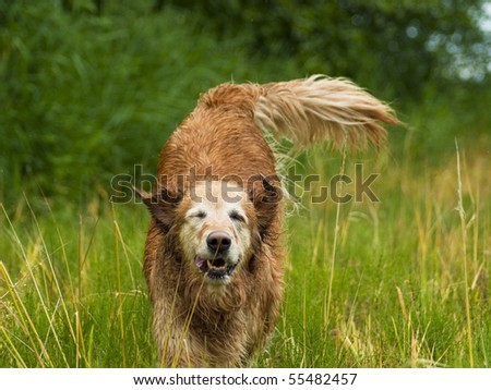 Golden Retriever running in tall grassy field. The happy dog runs and plays in the grassy meadow on a beautiful sunny day. - stock photo