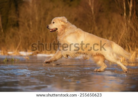 golden retriever running on the ice - stock photo