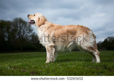 Golden Retriever showing great body - stock photo