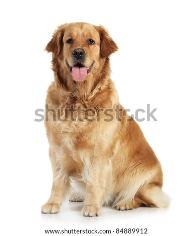 Golden retriever sits on white background - stock photo