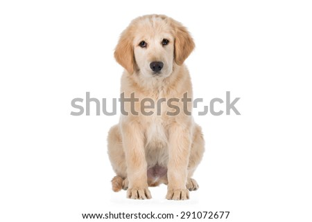 Golden retriever sitting and looking straight isolated on white background - stock photo