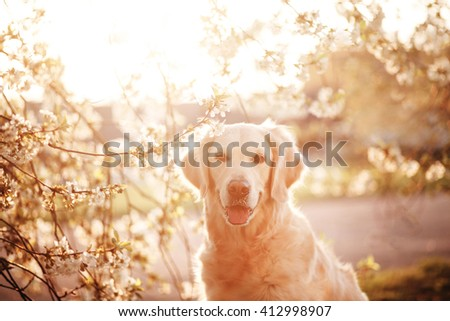 Golden Retriever Sitting in Flowers - stock photo
