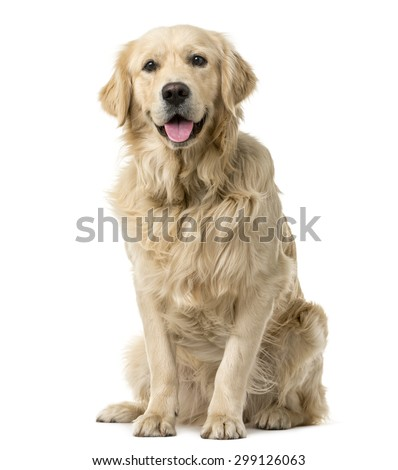 Golden Retriever sitting in front of a white background - stock photo