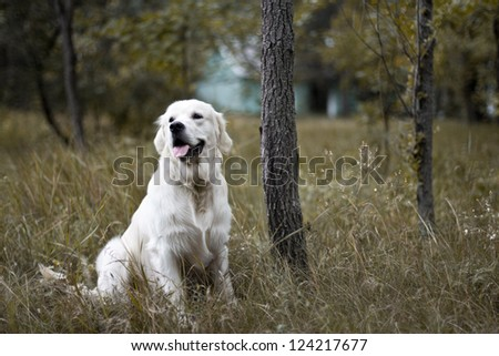 Golden Retriever sitting in the grass - stock photo
