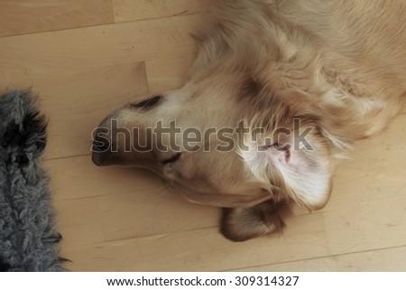 Golden Retriever sleeping at home - stock photo