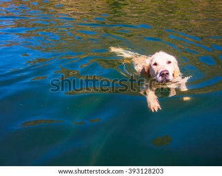 golden retriever swimming in a lake - stock photo