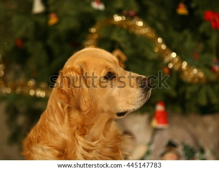 Golden Retriever under Christmas tree in the Holiday spirit! - stock photo