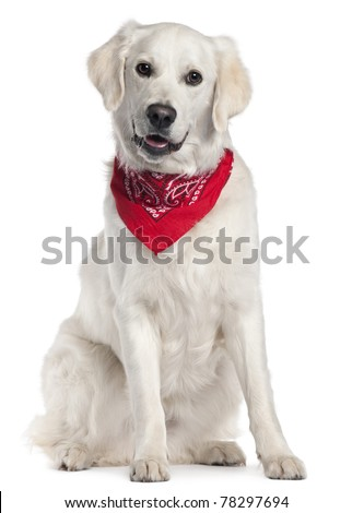 Golden Retriever wearing red handkerchief, 9 months old, sitting in front of white background - stock photo