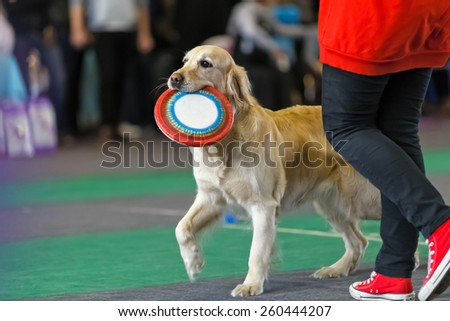 Golden retriever with a frisbee near its owner at dog show.  - stock photo