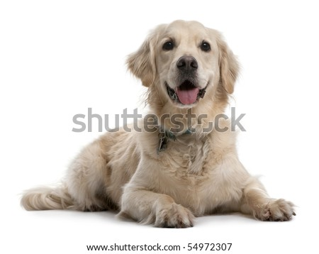 Golden Retriever, 4 years old, lying in front of white background - stock photo