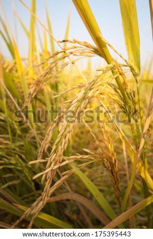 golden rice field - stock photo