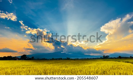 golden rice field in sunset with cloudscape - stock photo