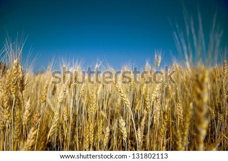 Golden ripe barley against blue sky background - stock photo