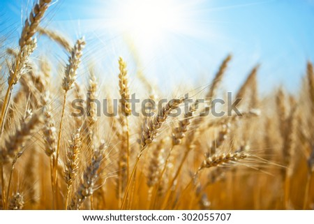 Golden, ripe wheat against blue sky background.  - stock photo