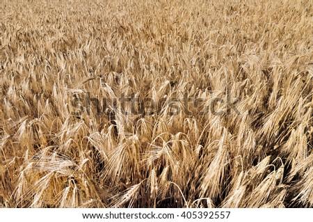 golden ripe wheat field background - stock photo