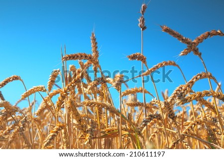 Golden ripe wheat field on the blue sky background - stock photo