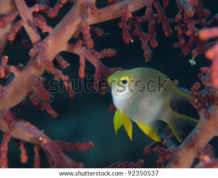 Golden sergeant in soft coral - stock photo