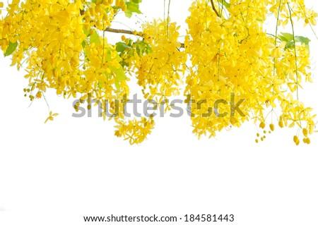 Golden shower tree (Cassia fistula)  isolated on white background - stock photo