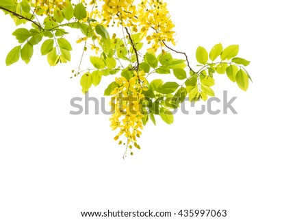 Golden shower tree (Cassia fistula) isolated on white background. - stock photo