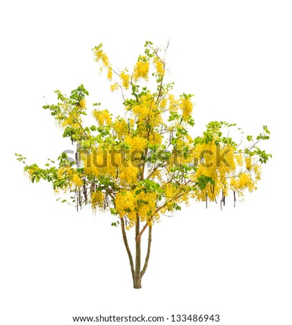 Golden shower tree (Cassia fistula), tropical tree in the northeast of Thailand isolated on white background - stock photo
