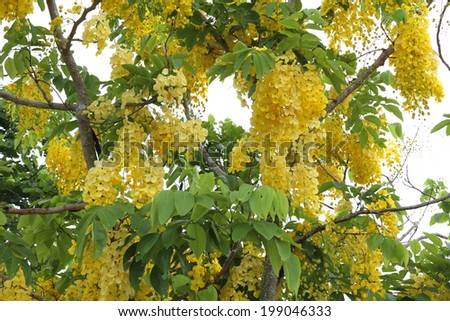 Golden shower tree in Thailand   - stock photo
