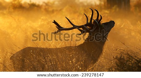 Golden silhouette of a red deer - stock photo