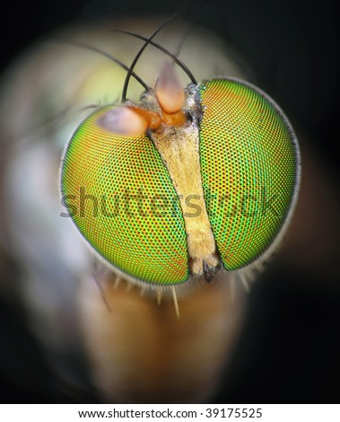 Golden soldier fly portrait - stock photo