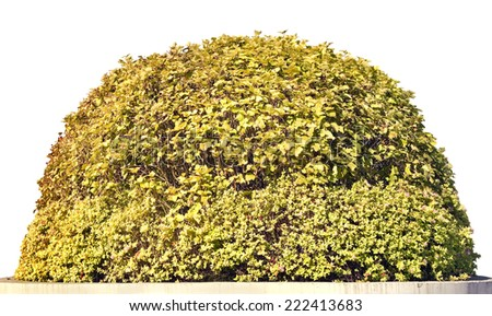 Golden sunny spherical  autumn isolated hawthorn bush. Bright vivid day - stock photo