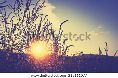 Golden sunset on the meadow and ambrosia weed, rural natural background - stock photo