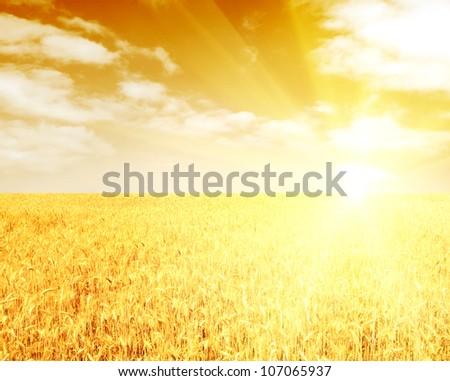 Golden sunset over wheat field - stock photo