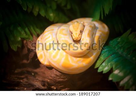 golden thai python - stock photo